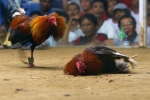 Петушиные бои на Пхукете