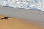 55 морских черепах отправятся в море на Сонгкран