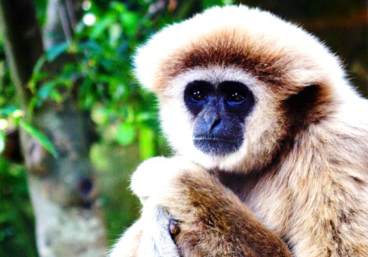 Gibbon Rehabilitation