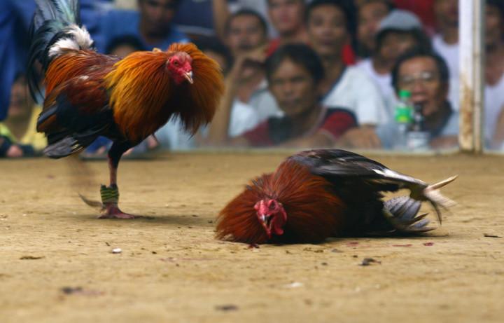 cockfighting main